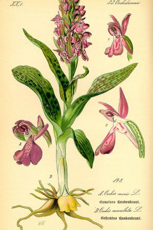 800px-Illustration_Orchis_morio0